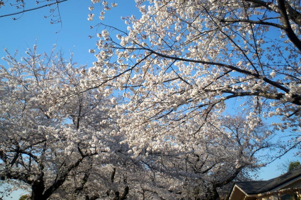 本番前でも櫻は愛でたい! 4/4_c0180686_01132397.jpg
