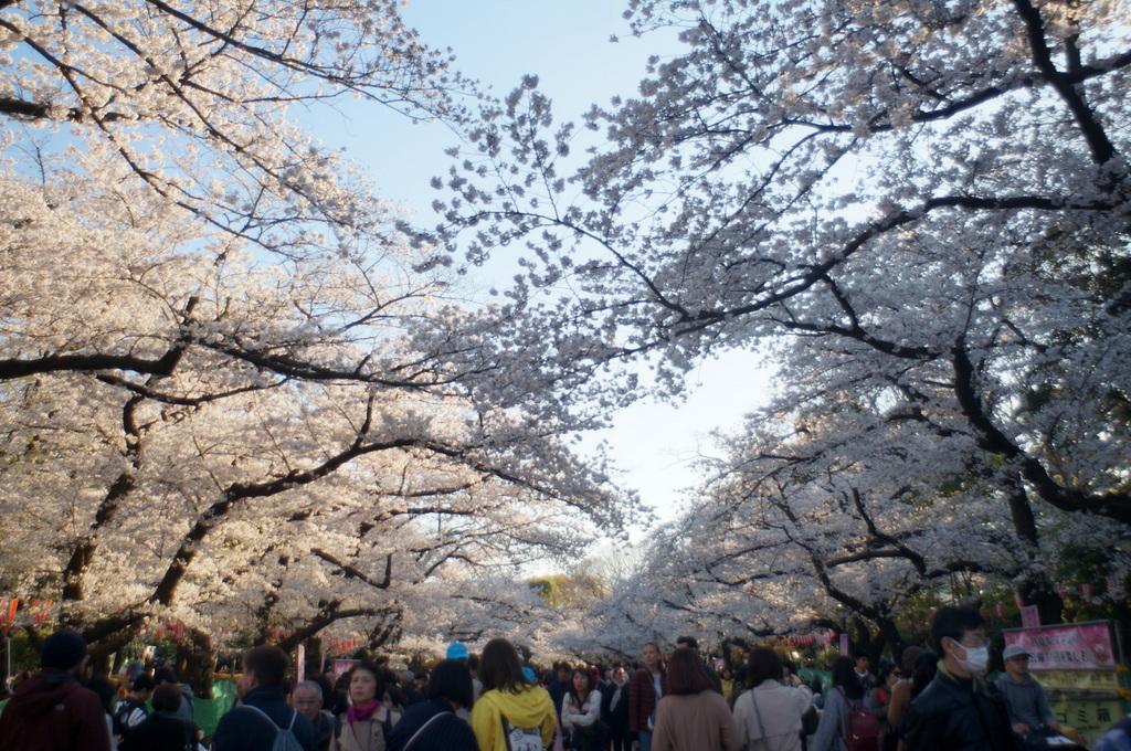 本番前でも櫻は愛でたい! 4/4_c0180686_01152009.jpg