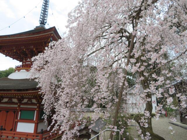 2019年 春のお手入れと今年の桜_a0233896_21443015.jpg