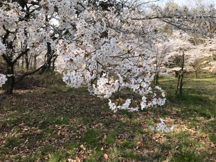 2019年 春のお手入れと今年の桜_a0233896_21465650.jpg