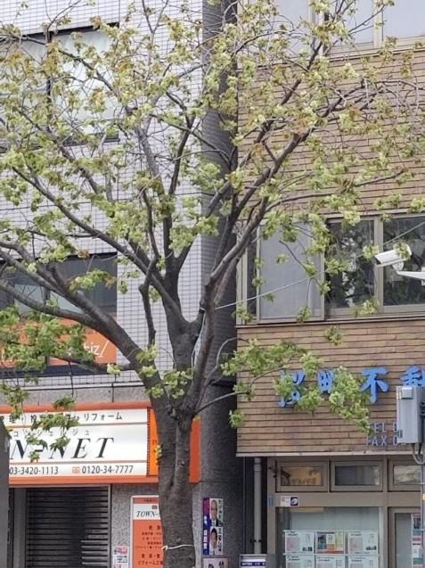 御衣黄桜・桜新町公園の芝生…2019/4/14_f0231709_10285889.jpg