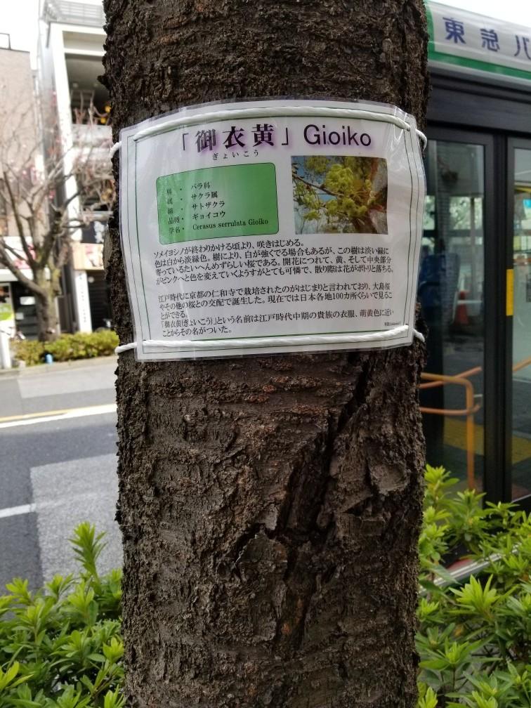 御衣黄桜・桜新町公園の芝生…2019/4/14_f0231709_10292712.jpg