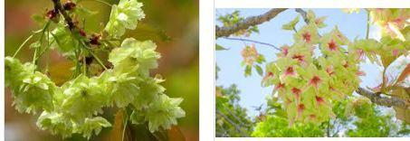 御衣黄桜・桜新町公園の芝生…2019/4/14_f0231709_11001144.jpg