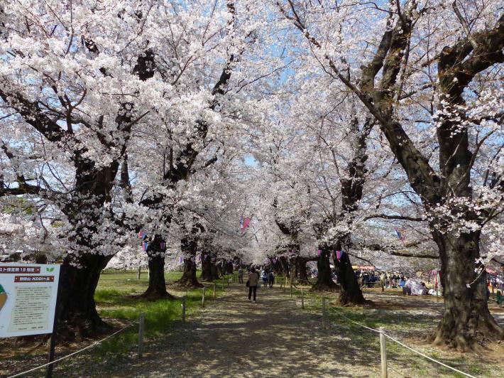 お花見2019  伊奈町無線山_f0296312_11103320.jpg
