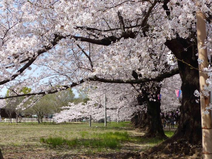 お花見2019  伊奈町無線山_f0296312_11103766.jpg