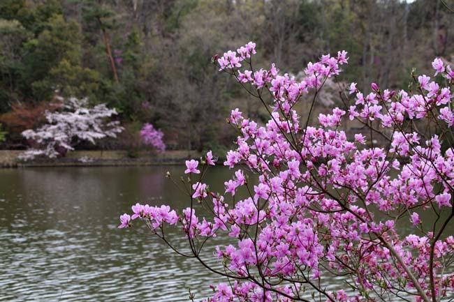 桜からつつじへ_e0048413_17502256.jpg