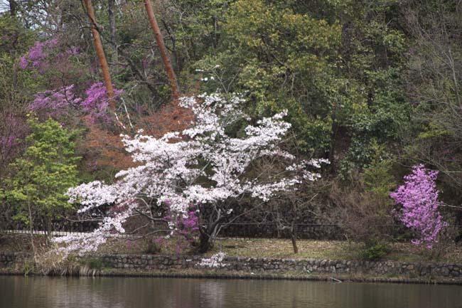 桜からつつじへ_e0048413_17504253.jpg