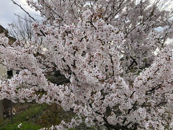 桜満開 _c0239414_05264012.jpg