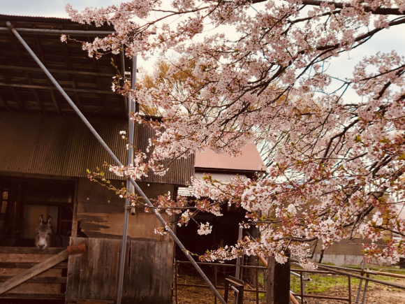 桜満開 _c0239414_05270942.jpg