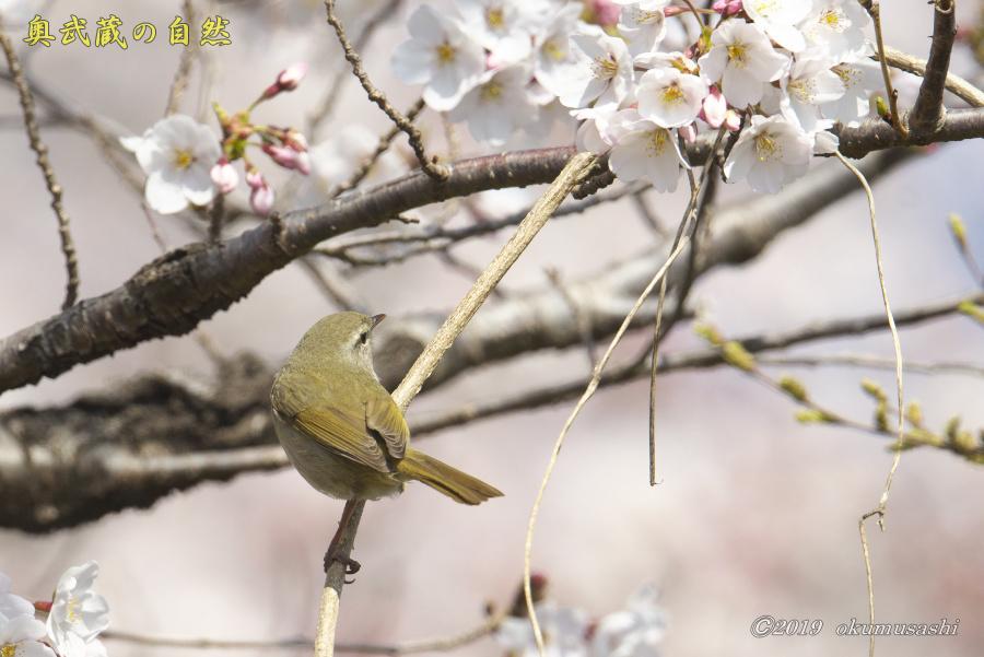 桜とウグイス_e0268015_16280094.jpg