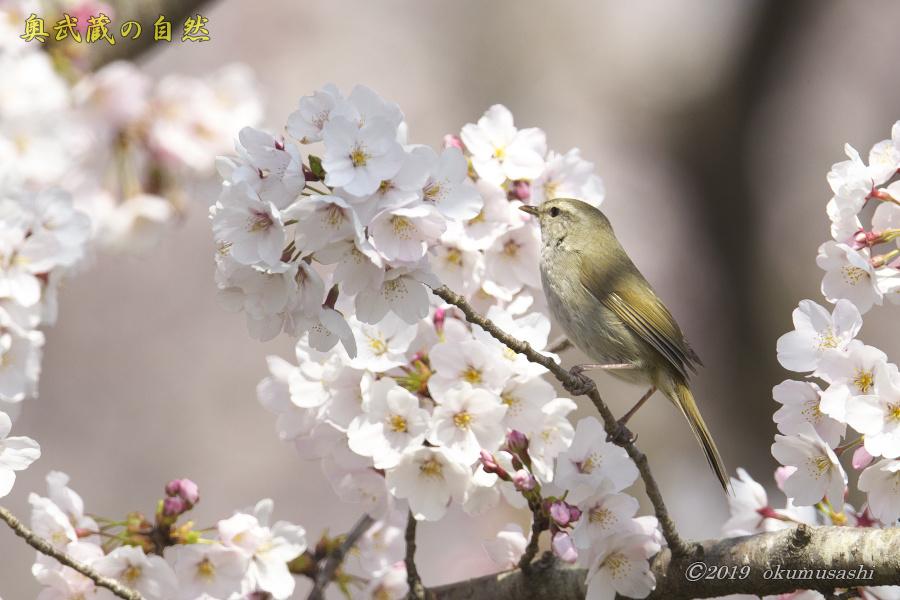 桜とウグイス_e0268015_16281894.jpg