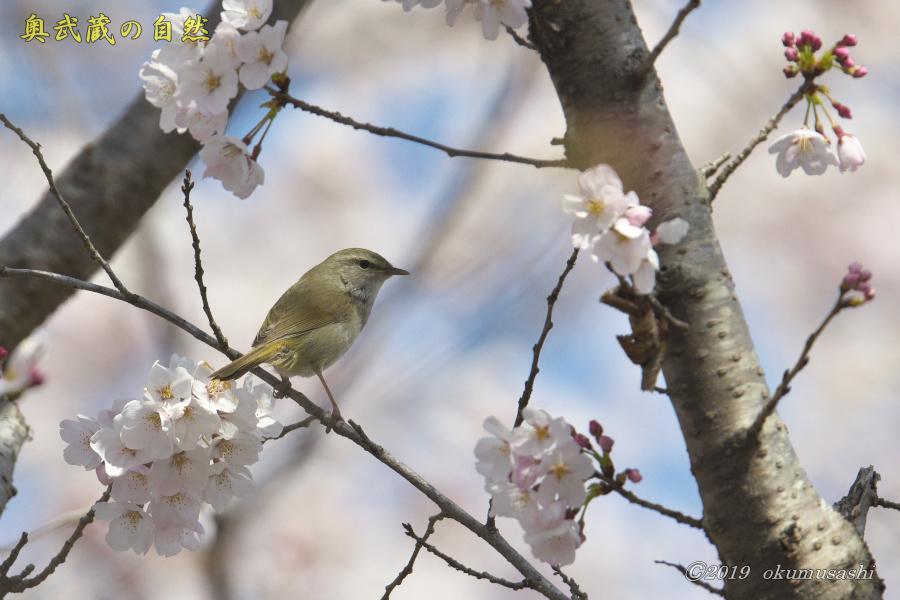 桜とウグイス_e0268015_16283526.jpg