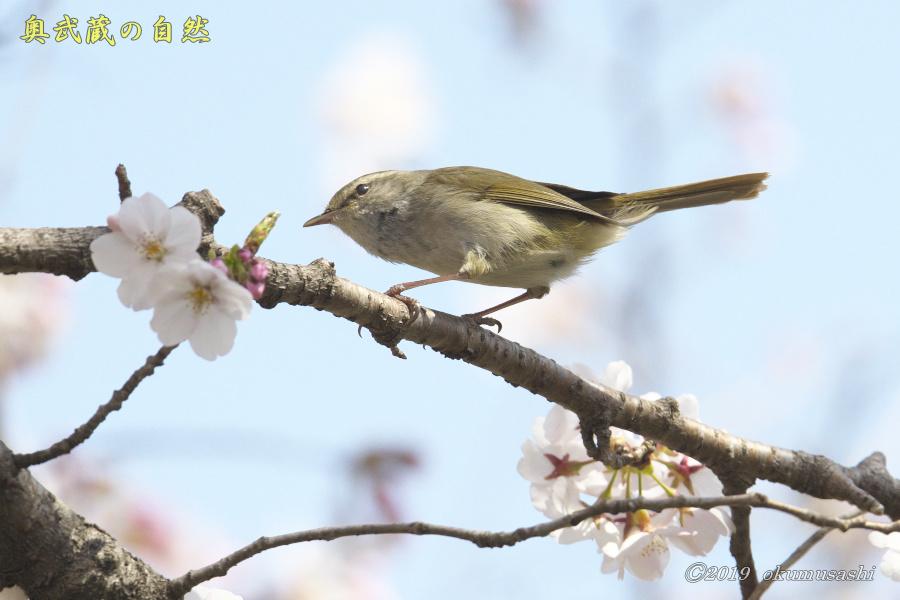 桜とウグイス_e0268015_16290083.jpg