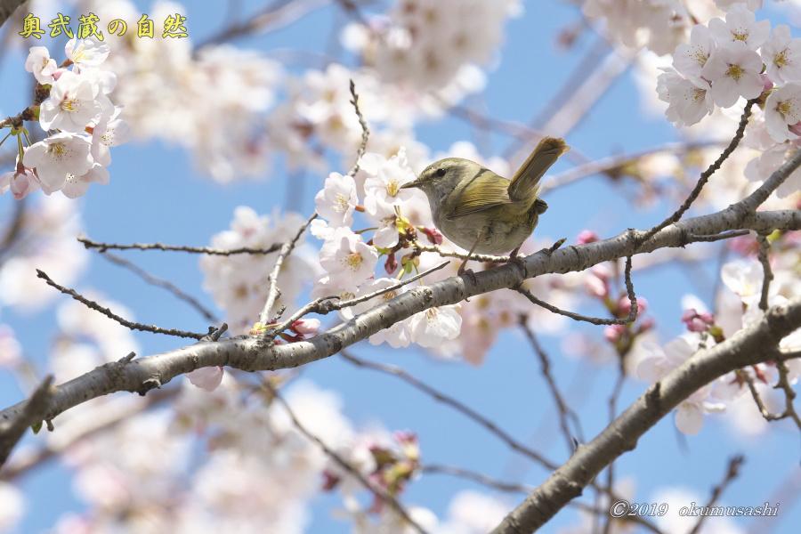 桜とウグイス_e0268015_16291818.jpg