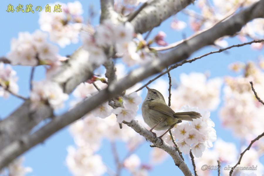 桜とウグイス_e0268015_16293824.jpg