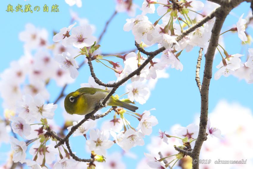 桜とメジロ_e0268015_16402629.jpg