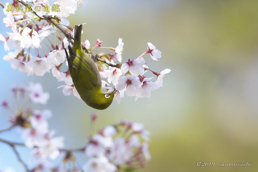 桜とメジロ_e0268015_16404987.jpg