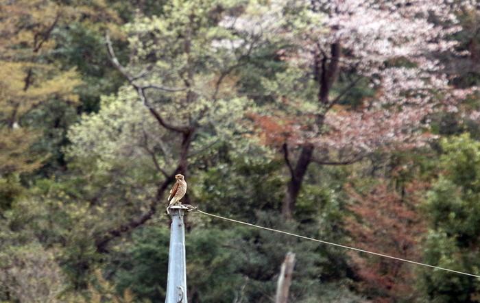里山のサシバに逢いに その2(桜を背景に)_f0239515_19415435.jpg