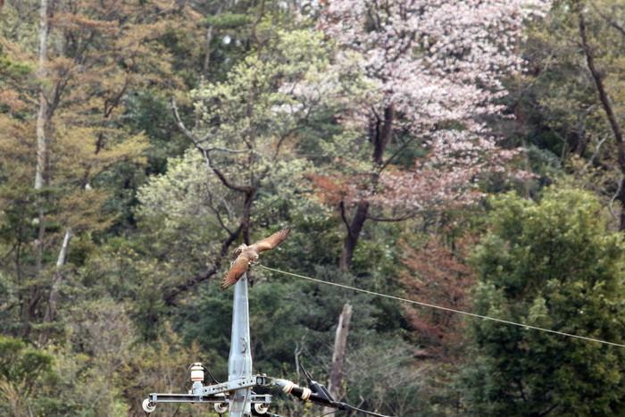 里山のサシバに逢いに その2(桜を背景に)_f0239515_19423782.jpg