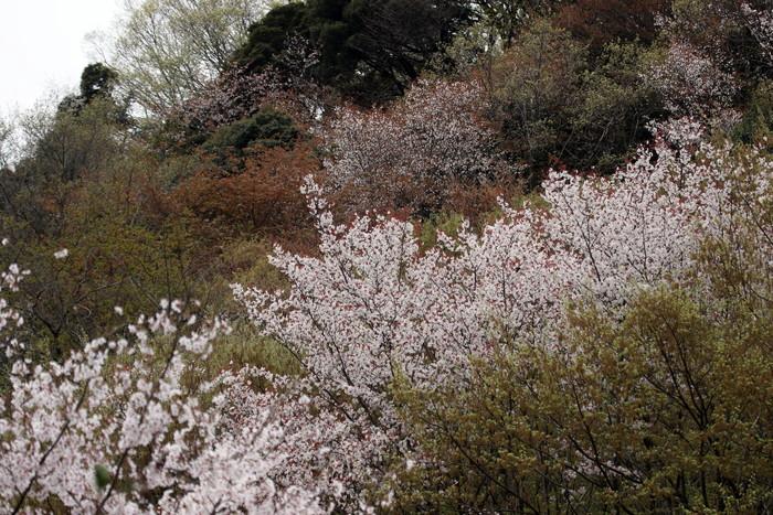 里山のサシバに逢いに その2(桜を背景に)_f0239515_2146019.jpg