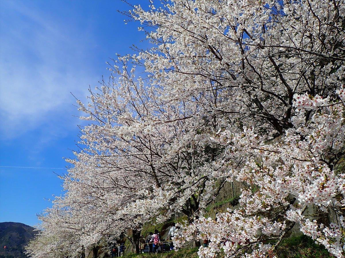 △ 桜咲く海津大崎(東山経由) △_f0348933_17362023.jpg