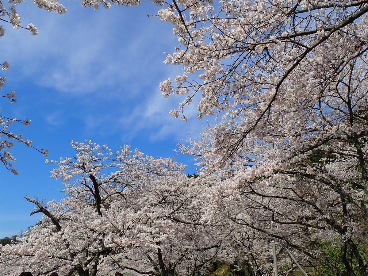 △ 桜咲く海津大崎(東山経由) △_f0348933_17394956.jpg