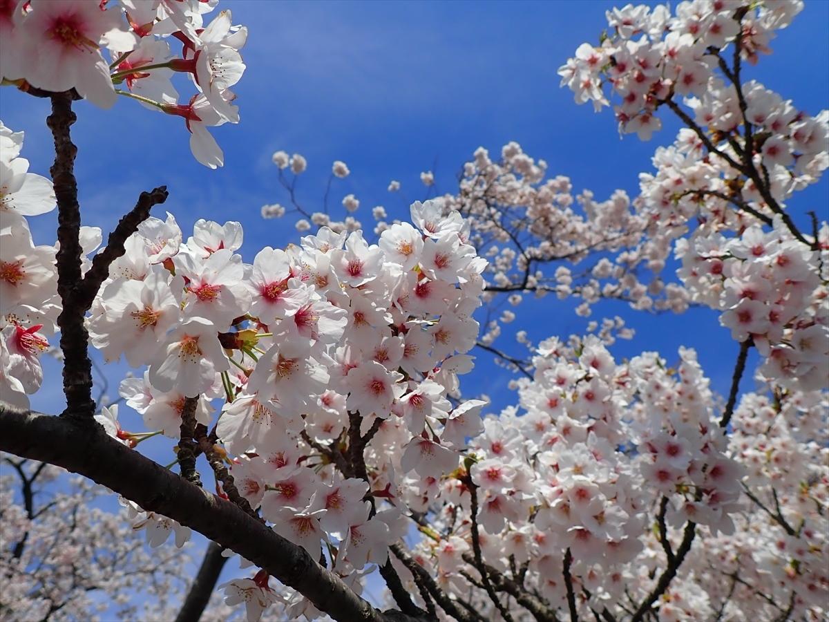 △ 桜咲く海津大崎(東山経由) △_f0348933_17412417.jpg