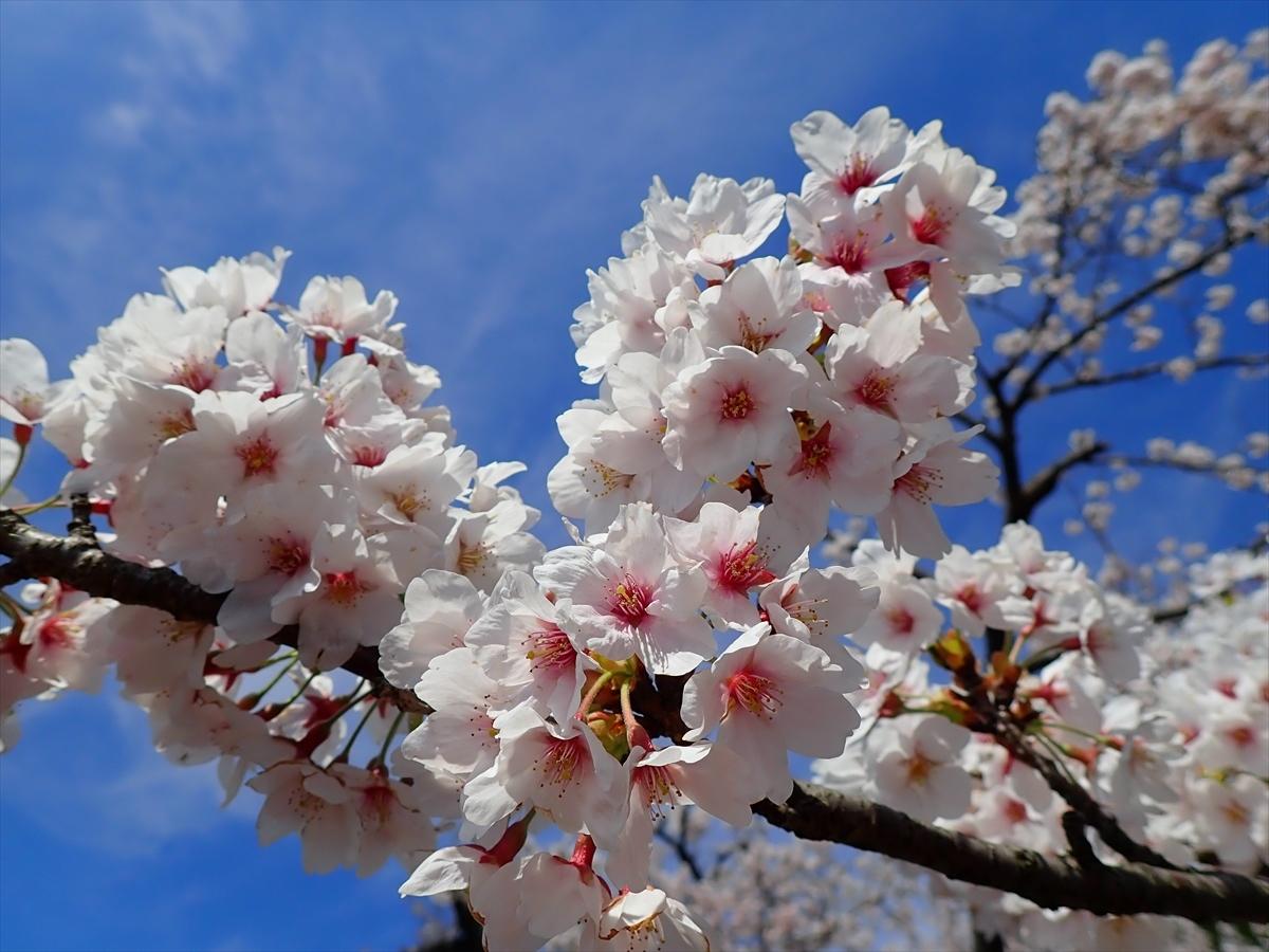 △ 桜咲く海津大崎(東山経由) △_f0348933_17414063.jpg