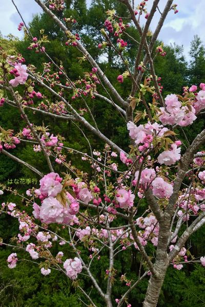 2019 桜いろいろ_d0036450_16421346.jpg