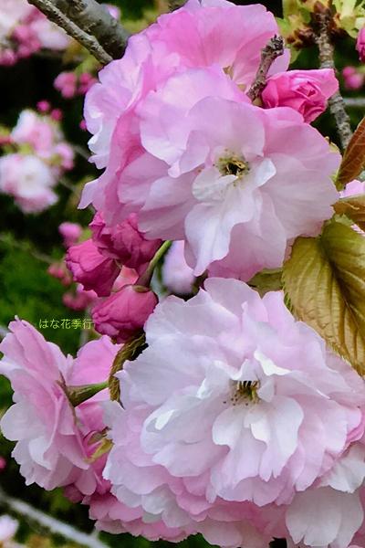 2019 桜いろいろ_d0036450_16421347.jpg
