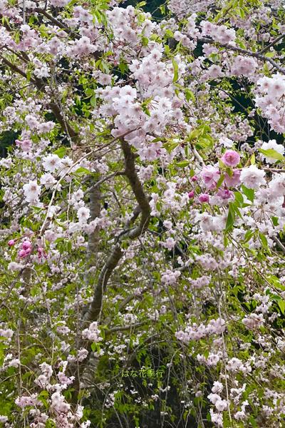 2019 桜いろいろ_d0036450_16421477.jpg