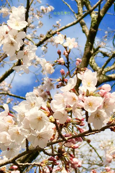 2019 桜いろいろ_d0036450_16562869.jpg