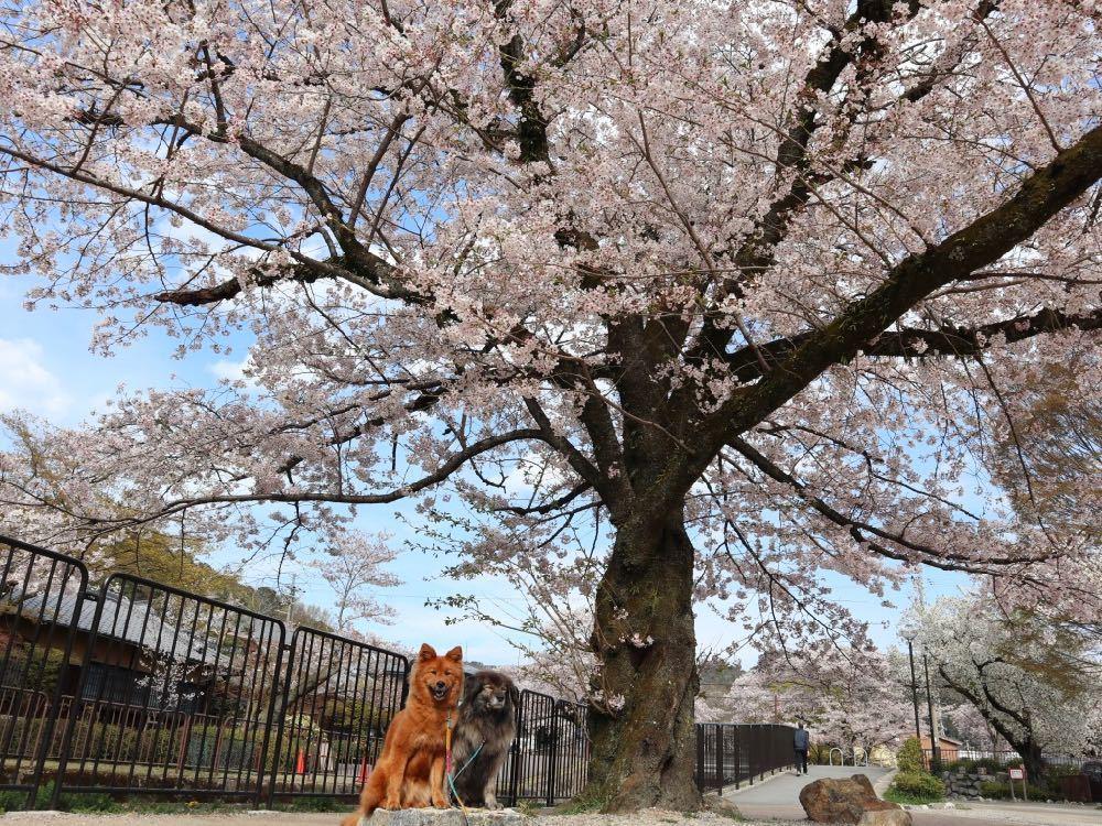 2019年・桜 <東山自然緑地>_a0119263_18024726.jpg