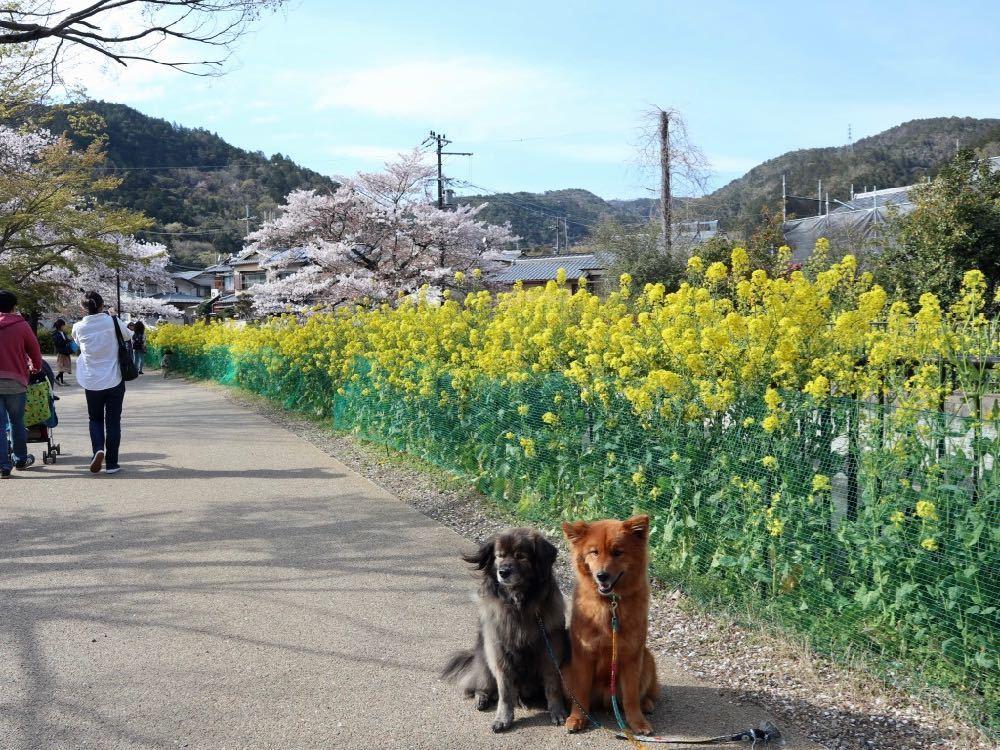 2019年・桜 <東山自然緑地>_a0119263_18024873.jpg