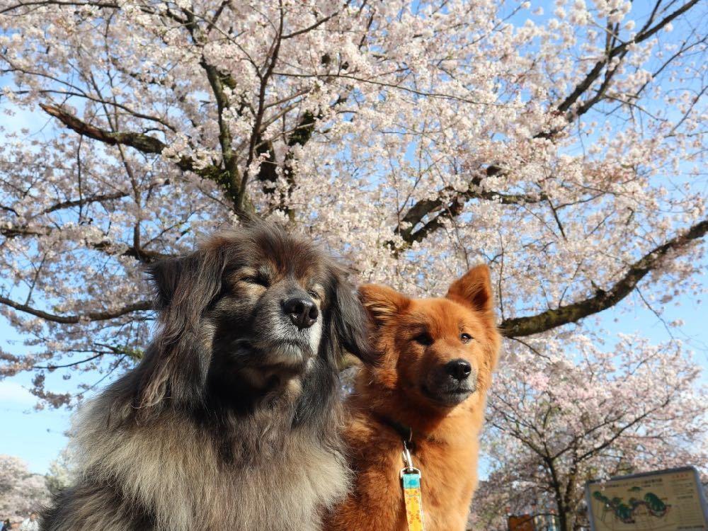 2019年・桜 <東山自然緑地>_a0119263_18024973.jpg