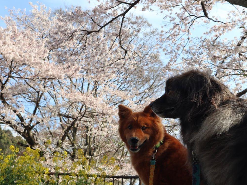 2019年・桜 <東山自然緑地>_a0119263_18024990.jpg