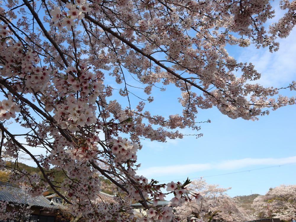 2019年・桜 <東山自然緑地>_a0119263_18024997.jpg