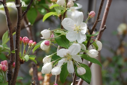 姫りんごが咲き始めました 2019年4月14日_a0164068_23061903.jpg