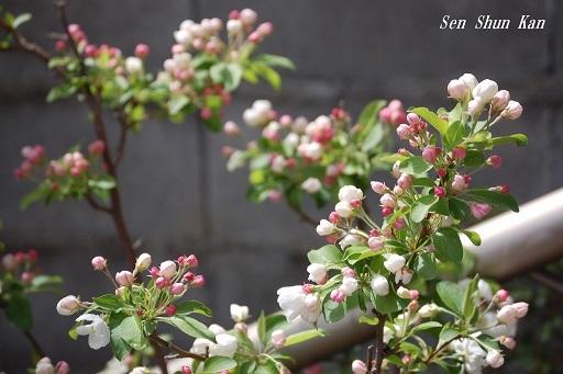 姫りんごが咲き始めました 2019年4月14日_a0164068_23061911.jpg