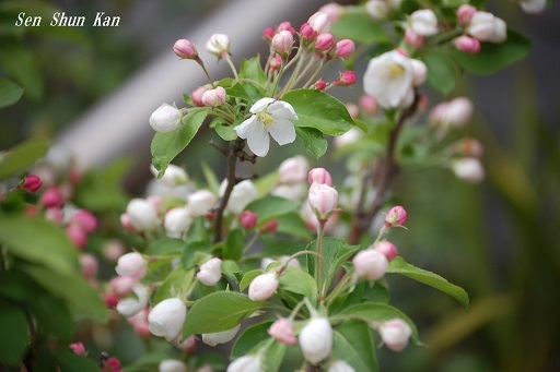 姫りんごが咲き始めました 2019年4月14日_a0164068_23062057.jpg