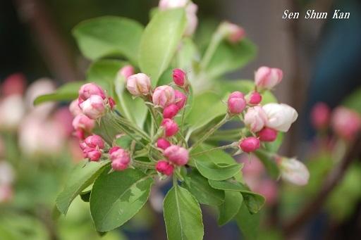 姫りんごが咲き始めました 2019年4月14日_a0164068_23062061.jpg