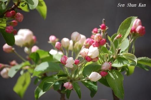 姫りんごが咲き始めました 2019年4月14日_a0164068_23062085.jpg