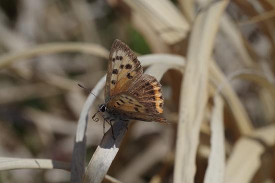 枯野に飛ぶ春の蝶_e0167571_602148.jpg