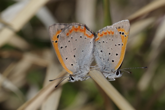 枯野に飛ぶ春の蝶_e0167571_621881.jpg