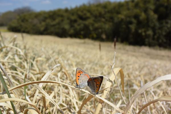 枯野に飛ぶ春の蝶_e0167571_633427.jpg