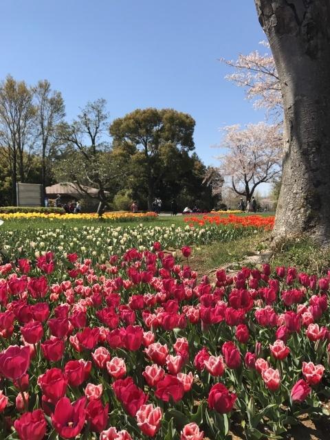 昭和記念公園のチューリップ_a0180279_10163049.jpg