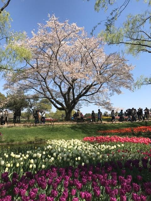 昭和記念公園のチューリップ_a0180279_10185403.jpg