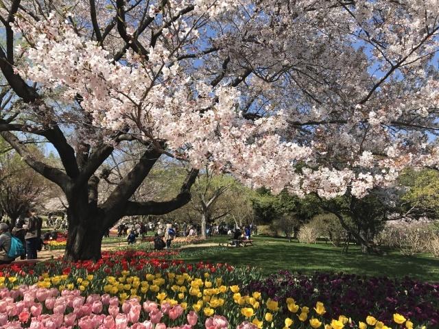 昭和記念公園のチューリップ_a0180279_10223668.jpg