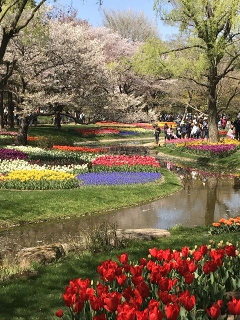 昭和記念公園のチューリップ_a0180279_10232040.jpg