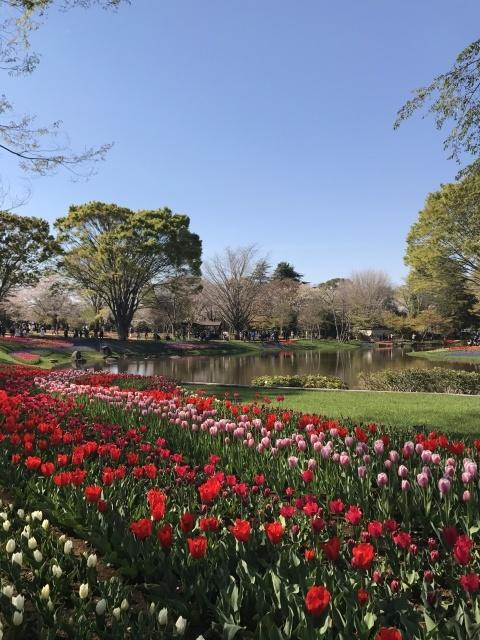 昭和記念公園のチューリップ_a0180279_10264878.jpg